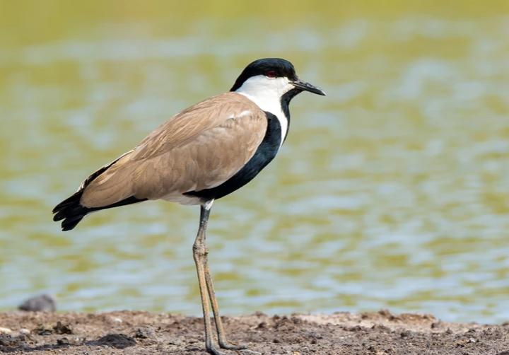 Σπάνιο πουλί στη λίμνη Κάρλα στη Θεσσαλία